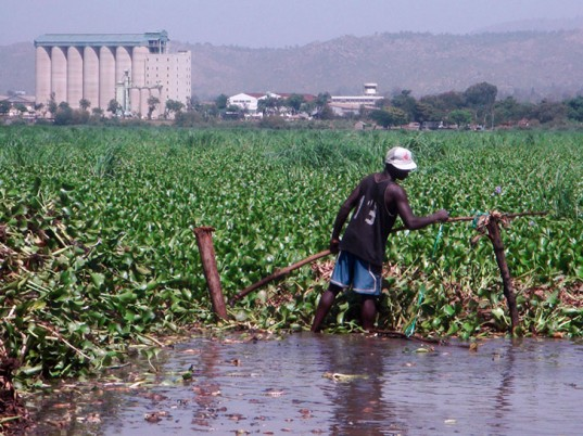 water hyacinth, Kenya